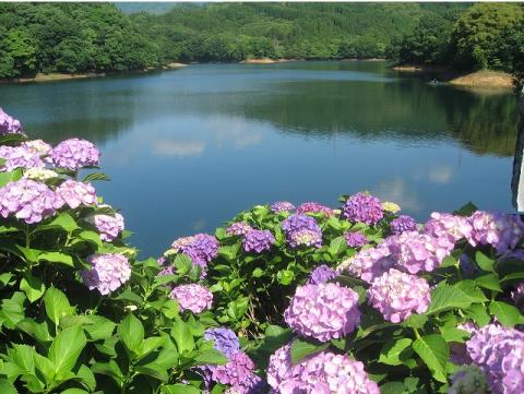 籾木池の紫陽花